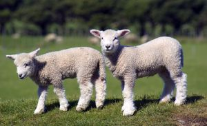 two-baby-lambs-image