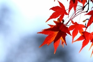 autumn-orange-leaves-image