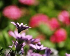 purple-flower-fade-image