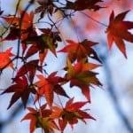maple-leaves-fall-image