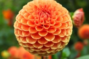 orange-ball-flower-image