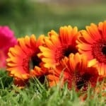 lovely-gerberas-image