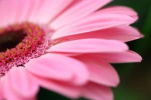 pink-petals-gerbera-image