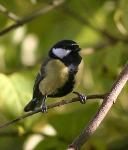 pretty-little-yellow-bird-image
