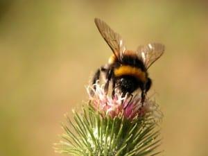 bumblebee-closeup-image