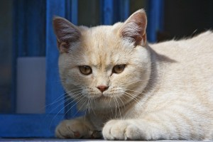 fluffy-fat-white-cat-image