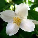 jasmine-bloom-image