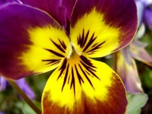pansy-up-close-image