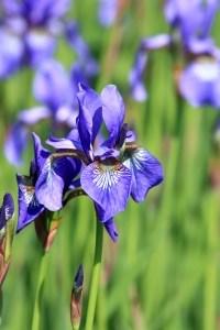purple-iris-green-fields-image