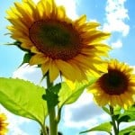 proud-sunflower-image
