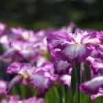 purple-irises-image