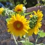 sunflower-cluster-image