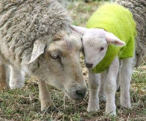 mother-baby-lambs-green-image