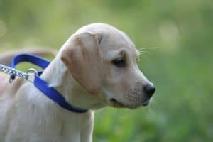 lab-puppy-blue-collar-image