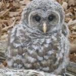 baby-owl-image