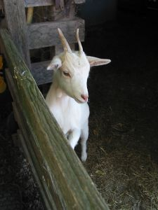 cute-goat-pen-image