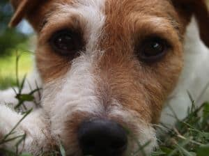 close-up-cute-jack-russell-image
