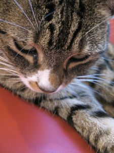 striped-cat-playing-image