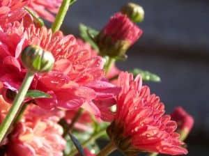 pink-mums-close-up-image