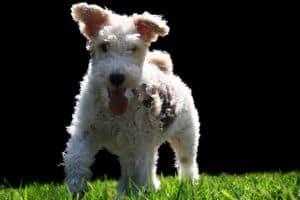terrier-running-across-field-image