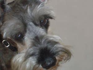 cute-schnauzer-eyes-image