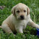 lab-puppy-in-grass-image