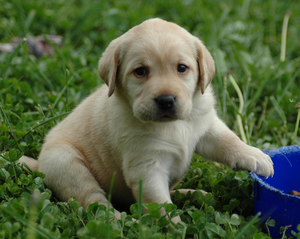 lab-puppy-in-grass-image