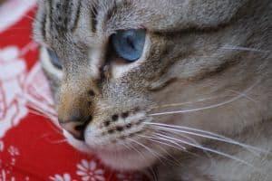 cat-face-sweet-blue-eyes-image