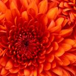 full-screen-orange-flower-image