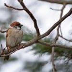 winter-sparrow-image