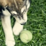 puppy-with-tennis-ball-image