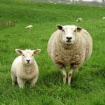 mom-and-baby-sheep-image