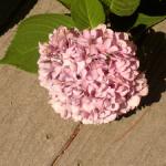 beautiful-pink-ball-flower-image