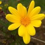 yellow-daisy-like-flower-image