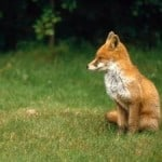 grass-english-fox-cub-image