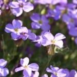 lovely-purple-violets-image