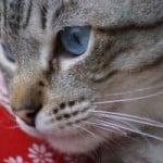 gray-cat-red-bandana-image