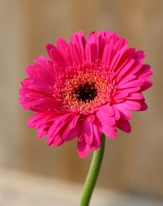 single_beautiful_pink_gerbra_flower_image