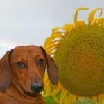 dachshund-sunflower-image