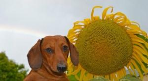 dachshund-sunflower-image