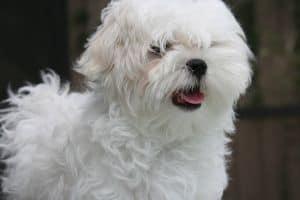 maltese-cute-dog-image