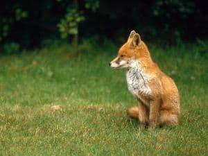 english-fox-cub-in-field-image
