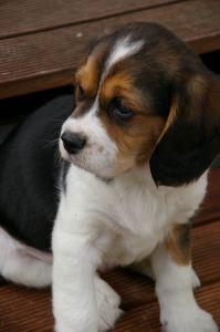 brown-black-beagle-sad-image