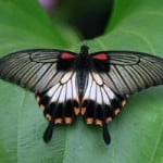 butterfly-wings-spread-leaf-image
