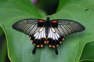 butterfly-wings-spread-leaf-image