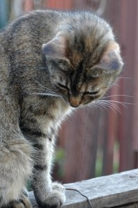 farm-cat-looking-down-image