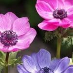pink-purple-anemone-image