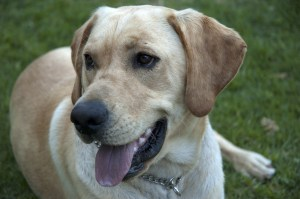 sandy-lab-dog-image