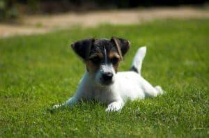 puppy-sprawled-on-grass-image
