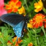 blue-swallowtails-marigolds-image